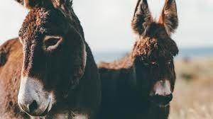 Wandelen met ezels